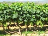 实惠的葡萄苗出售 河北葡萄苗价格