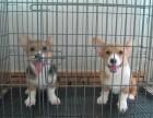 狗市可以买到纯种柯基犬吗 多少钱一只