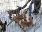 马犬价格马犬养殖场