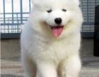 重庆赛级品质如假包换包健康纯种 卖萌必备神器 萨摩耶犬