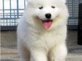 双眼皮品相好血统纯正萨摩耶幼犬多只待售 品质保障