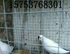 锦州出售自家养的观赏鸽肉鸽元宝鸽