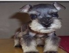 信誉服务 高端品质保障 纯种雪纳瑞犬 常年有货