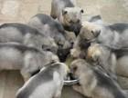出售狼青 三个月狼青最新价格 狼青平时喂养注意啥