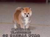 纯种柴犬多少钱 高品质日本柴犬 CKU血统 保健康