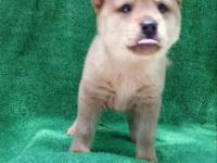 哪里卖纯种柴犬丨哪里卖赛级柴犬丨赛级柴犬多少钱