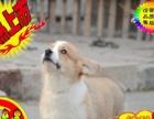 精品纯种威尔士柯基幼犬热销中 两色三色均有 签合同