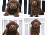 纯种拉布拉多幼犬出售 大骨架血统纯正 全国送货上门