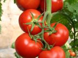 西红柿种苗多少钱一株,粉果西红柿种苗