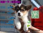 哪一家宠物店卖纯种健康的柯基犬多少钱一只