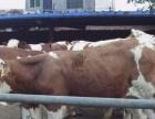 肉牛养殖视频