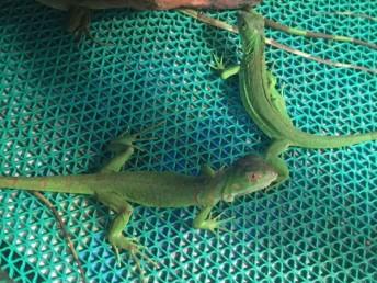 另类宠物蜥蜴绿鬣变色龙可爱活体包风险