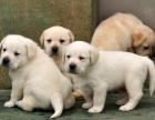 云南保山哪个地方有狗卖/保山常年出售纯种拉布拉多犬