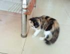 自己家养的加菲猫 品像一般 价格面谈