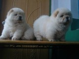 柳州哪有松狮犬卖 柳州松狮犬价格 柳州松狮犬多少钱