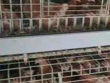 河南鹤壁青年鸡厂家推荐河南鹤壁青年鸡养殖公司