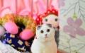 折耳猫 苏格兰折耳猫 宠物 纯种蓝猫 宠物
