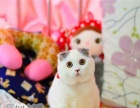 宠物活体苏格兰折耳猫虎斑渐层英短幼猫幼崽