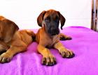 纯种大丹犬幼犬出售金丹黑丹花丹齐全欢迎前来基地选