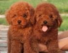 成都纯种泰迪幼犬出售茶杯泰迪3迷你泰迪迷你贵宾6长不大泰迪