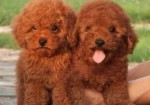 杭州纯种泰迪犬幼犬出售 泰迪狗活体长不大的茶杯泰迪