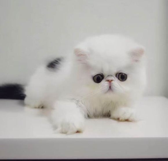 泉州哪里有波斯猫卖 纯种 无病无廯 协议质保