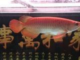 红龙鱼价格3000
