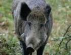 东北森林散养野猪肉