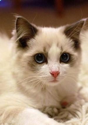 高品质布偶猫长相甜美带血统多只可选海双/手套/重点