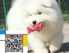 纯种萨摩耶幼犬/签协议-保健康