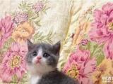 可爱萌呆的英国短毛猫蓝白猫咪,喜欢快联系pk拾彩票网吧