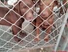 南宁比特犬价格,出售纯种比特犬