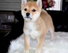 北京犬舍纯种赛级日本柴犬幼犬赤色柴犬活体柴犬幼犬包健康包纯种