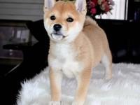 北京犬舍純種賽級日本柴犬幼犬赤色柴犬活體柴犬幼犬包健康包純種