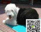 烈赛级双纯血统白头通背古牧幼犬销售免疫齐全包
