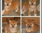 本地大型宠物繁殖基地上门挑选 柴犬日系