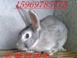 肉兔好兔子种兔成活率 益阳肉兔养殖兔子