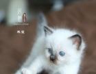 【风雅猫王国】海豹手套色布偶猫弟弟(标价为定金)
