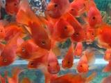 观赏鱼 锦鲤 龙鱼 鹦鹉出售 定做各种鱼缸 海鲜池