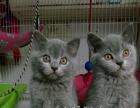 超级冠军甜蜜的后代精品英国短毛猫公猫出售