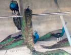 孔雀苗鸵鸟苗的价格鳄鱼苗多少钱