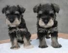 宠物狗狗雪纳瑞犬幼犬出售迷你雪纳瑞巨型雪纳瑞纯种雪耐瑞