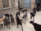 格力犬是细狗吗 格力犬成年多少斤 格力犬多少钱