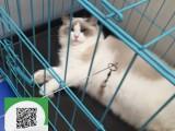 南通哪里有布偶猫出售 南通布偶猫价格 南通宠物狗出售信息