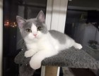 自家猫舍纯种多只英短蓝白 渐层 美短待售