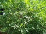 文冠果苗批发-山西春秋园林-优质文冠果苗繁育基地