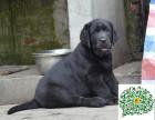 拉布拉多犬多少一只,拉布拉多哪里有卖的