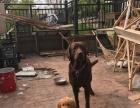 拉布拉多一年狗物业不让养了