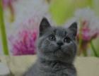 高品质蓝猫 蓝猫幼猫 同城可送上门挑选