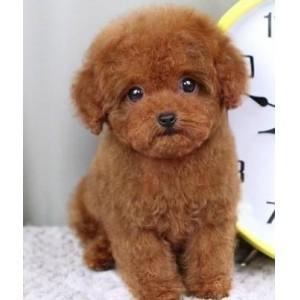 专业的泰迪熊狗场出售纯种茶杯玩具体泰迪宝宝